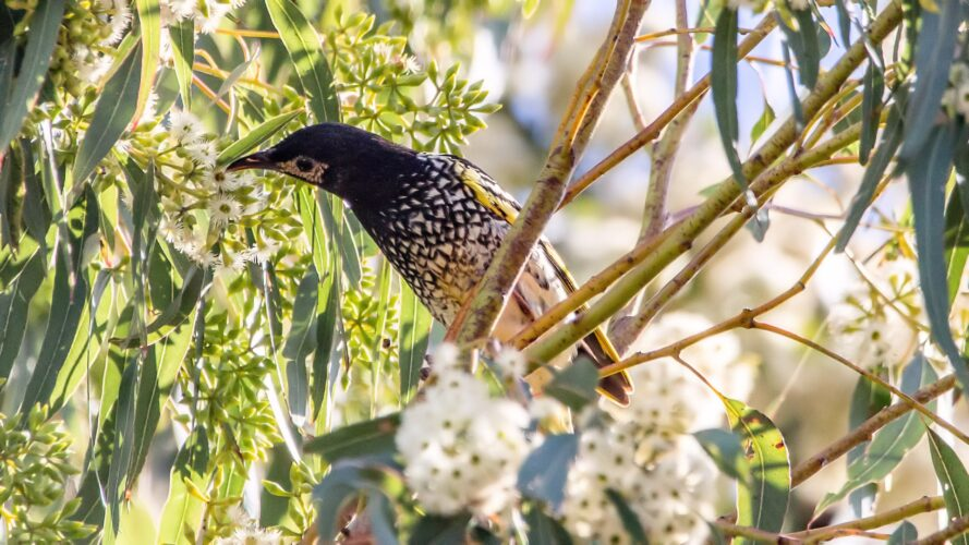 Regent Honeyeater bird